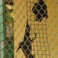 Fruit bats at Jakarta zoo
