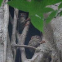 Tarsiers in roost tree