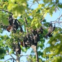 Black Flying Foxes on Tangkuladi