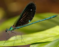 Tompotika dragonfly