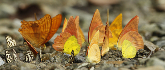 a group of golden butterflies, Tompotika, Indonesia