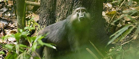 Tonkean Macaque, Tompotika Forest Preserve