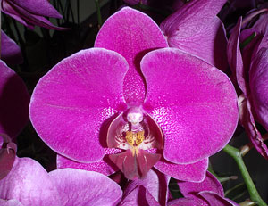 bright purple orchid