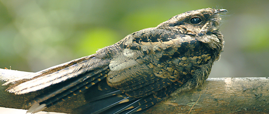 nightjar with beautiful speckled feathers