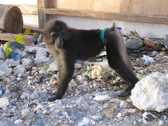 pathetic shot of a wild-caught Tonkean macaque kept on a chain in a public place with rocks and trash to lie on