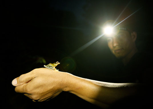 caught in the headlamp, a tiny frog on the photographer's hand