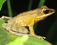 frog from Tompotika