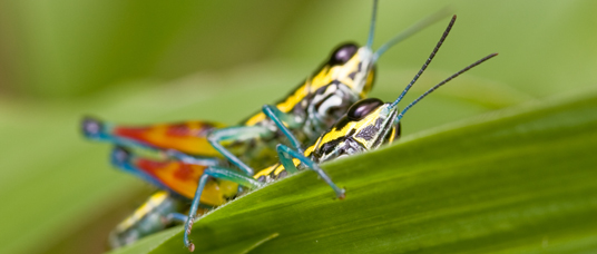 Blue and yellow grasshoppers, Sulawesi