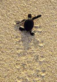 Green Sea Turtle, (Chelonia mydas) Hatchling heading to sea for the first time, Ascension Island, South Atlantic Ocean.