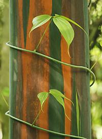 vine spiraling tree trunk