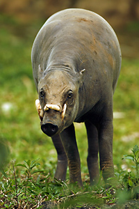 Babirusa, Rainforest pig endemic to Sulawesi, Indonesia.