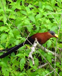 Yellow-billed Malkoha, a large bird