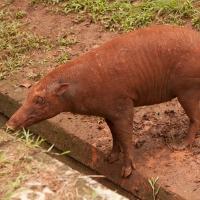 Babirusa di kebun binatang Jakarta