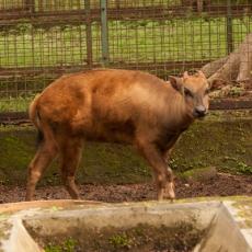 Anoa di kebun binatang Jakarta