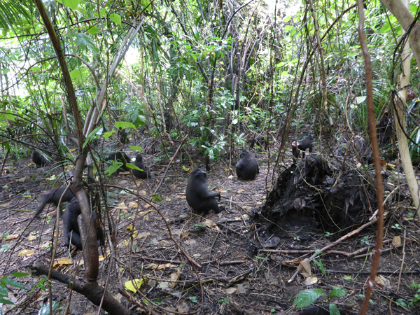 Tangkoko black crested macaques