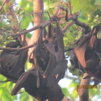 Black Flying Foxes