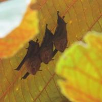 Bats roosting near trail