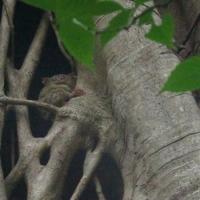 Tarsier in roost tree