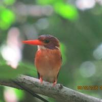 Sulawesi dwarf kingfisher