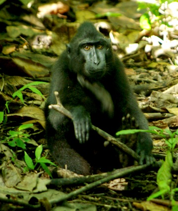Sulawesi crested black macaque in Tangkoko Nature Reserve (© Bill Yake/AlTo)