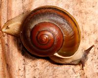 Tompotikan snail