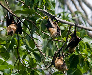 Sulawesi Flying Foxes, Acerodon celebensis