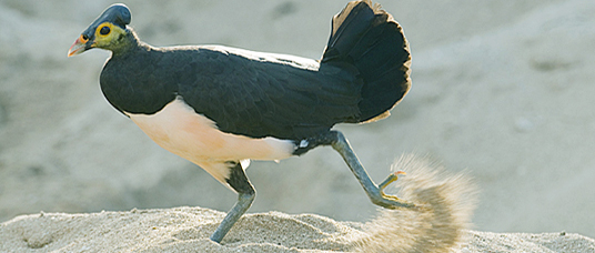 Maleo (Macrocephalon maleo) Megapode bird endemic to Sulawesi, Indonesia, digs nest and incubates eggs in hot sand, ENDANGERED
