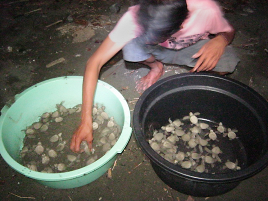 sea turtle eggs are being protected by moving them to people's homes. Newly hatched turtles in plastic basins will be carefully released at the beach