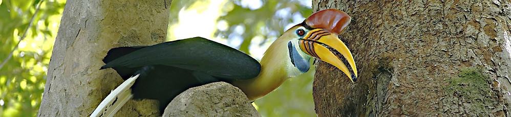 Red Knobbed Hornbill