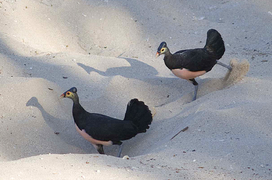 two Maleos on beach nesting ground