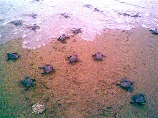 seven hatchling turtles reach the ocean