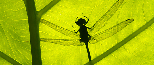dragonfly seen in silhouette through a leaf, Tompotika, Indonesia