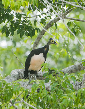 Maleo in tree above nesting colony, endemic to Sulawesi Indonesia