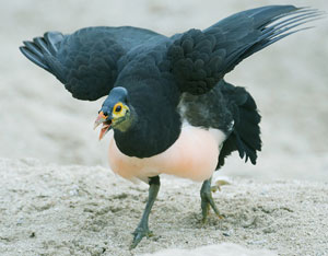 protective maleo on nesting ground