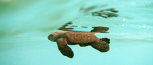 Baby sea turtle, Indonesia