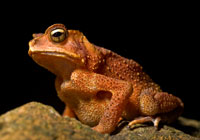 an orange toad