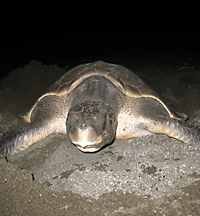 Olive Ridley turtle prepares to nest