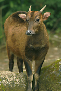 Anoa, relative of buffalo endangered in Sulawesi, Indonesia