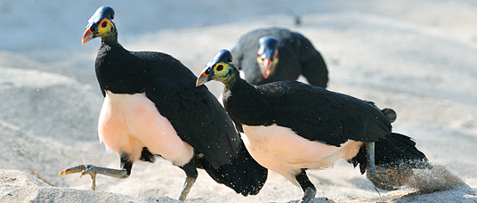 Three maleos on beach nesting ground.