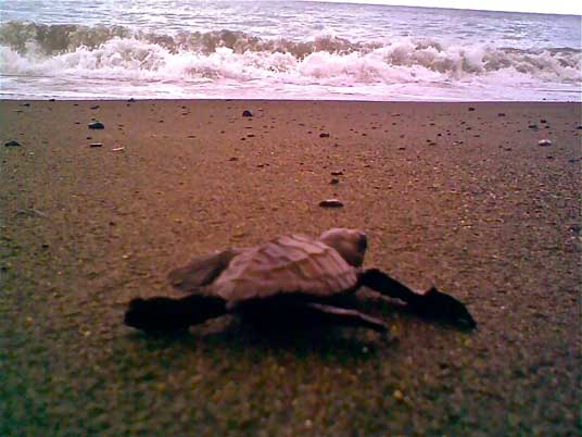 An Olive Ridley hatchling heads to the sea