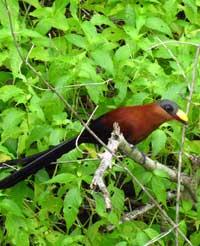 Yellow-billed Malkoha, a large bird