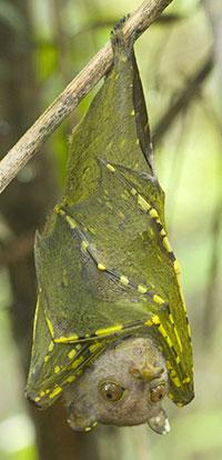 Kelelawar Miniopterus