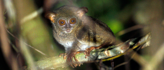 Hard-to-see tarsier will be object of survey